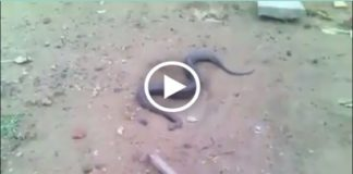 snake giving birth video