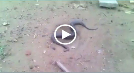 snake giving birth video